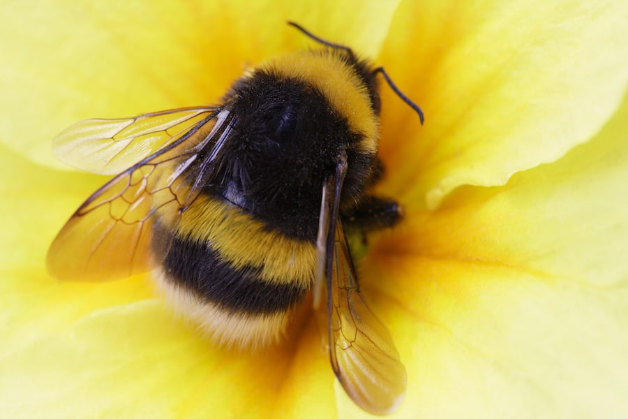 Close up photo of a fuzzy bumble bee with yellow and black stripping sitting in the middle of a yellow flow.