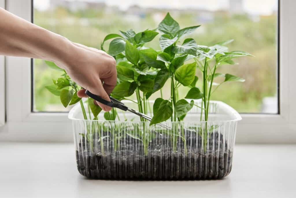 Photo of pruning young pepper plants in a transparent container