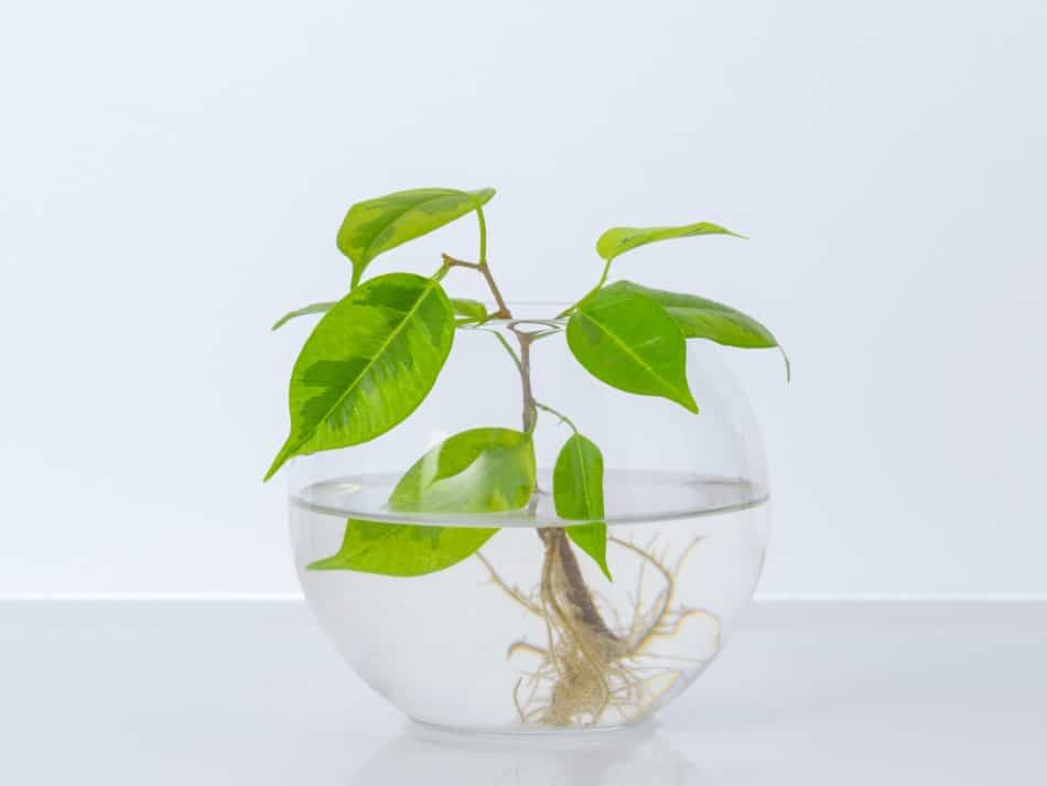 Photo of a plant with exposed roots soaking in a fishbowl half full of water