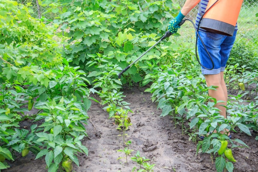 Photo of person spray pepper plants with anti pest repellant