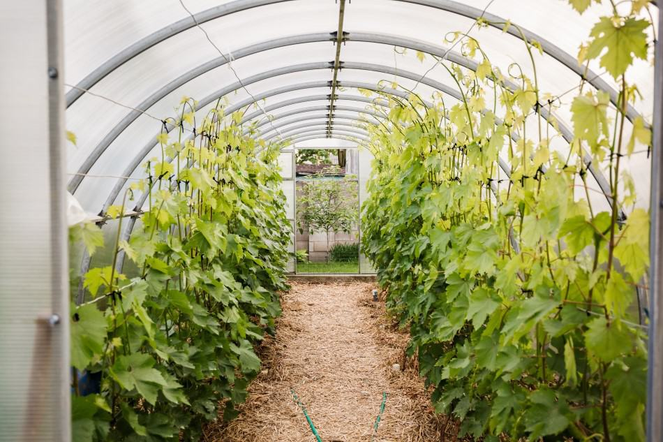 Photo of grape vines growing in a hooped outdoor grow tent