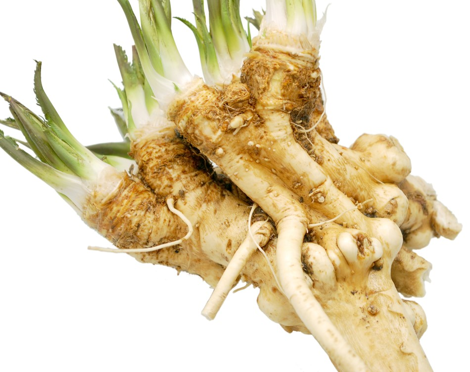 Photo of horseradish root with whiteish green shoots coming out of the top on a white backdrop