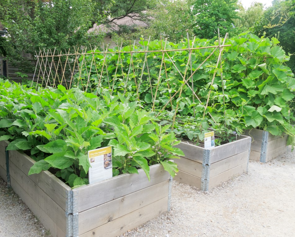 Photo of raised gardening beds made of wood with leafy produce being grow in them