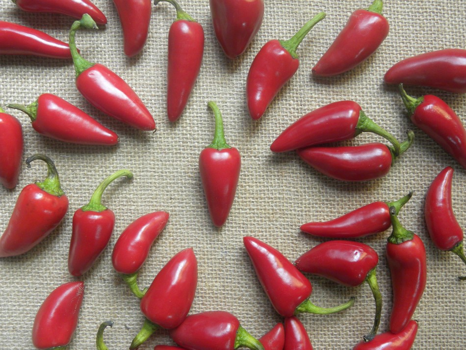 Many Fresno chili peppers laid out on a burlap cloth