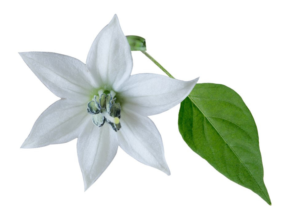 Close up photo of a single white pepper plant flower against a white backdrop