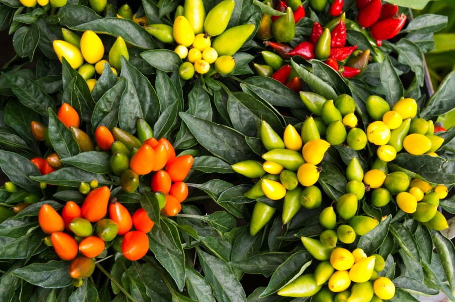 Photo of yellow, orange, red, and green ornamental peppers growing