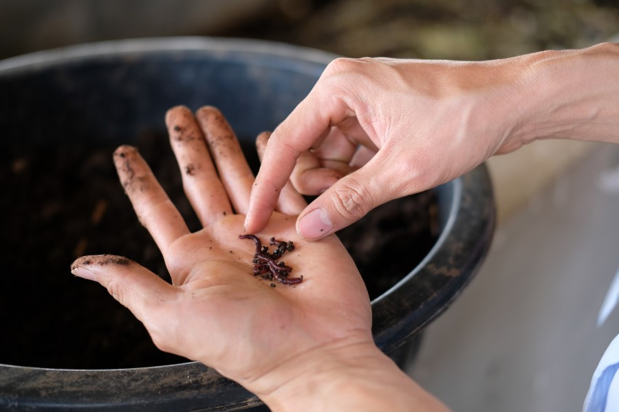 farmer hand holding a composting earthworm for producing compost manure
